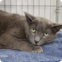 Adopt A Pet :: Victor - Merrifield, VA
