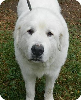 Great Pyrenees Dog for adoption in Granite Bay, California - WINTER
