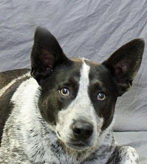 Australian Cattle Dog Dog for adoption in Modesto, California - Zeke