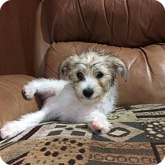 Jack Russell Terrier/Wheaten Terrier Mix Puppy for adoption in El Cajon, California - Milli (in adoption process)