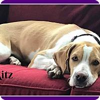 Adopt A Pet :: Ritz - Elburn, IL