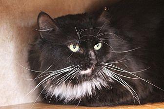 Domestic Mediumhair Cat for adoption in Colorado Springs, Colorado - Kronos