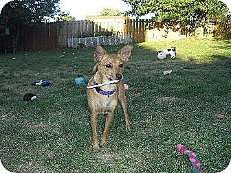 Chihuahua Mix Dog for adoption in Elizabethtown, Pennsylvania - Miley