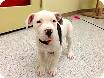 American Bulldog/American Pit Bull Terrier Mix Puppy for adoption in Phoenix, Arizona - Enya