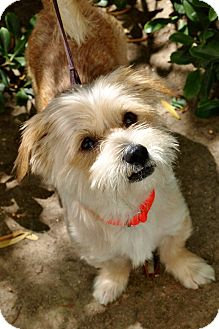 Cairn Terrier/Silky Terrier Mix Dog for adoption in Mission Viejo, California - Guy