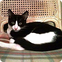 Turkish Van Cat for adoption in Cerritos, California - Sylvester