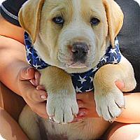 Adopt A Pet :: Brutus big love - Sacramento, CA
