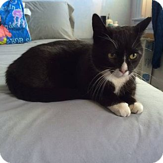 American Shorthair Cat for adoption in New York, New York - Maggie