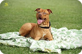 Staffordshire Bull Terrier/Shar Pei Mix Dog for adoption in Whites Creek, Tennessee - ALFRED