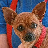 Chihuahua Mix Dog for adoption in Palmdale, California - Romeo