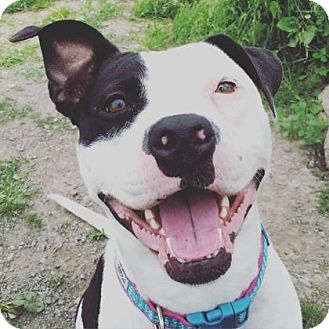 Pit Bull Terrier Mix Dog for adoption in Ithaca, New York - Daisy Mae