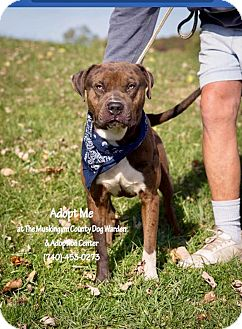 Catahoula Leopard Dog Mix Dog for adoption in Zanesville, Ohio - Chico - ADOPTED!