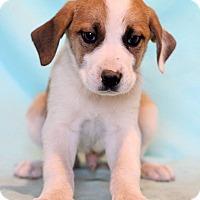 Adopt A Pet :: Amani - Waldorf, MD