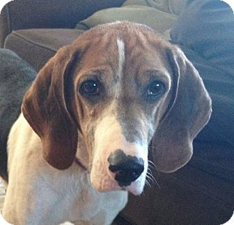 Treeing Walker Coonhound Mix Dog for adoption in Dundee, Michigan - Zima - Adoption Pending