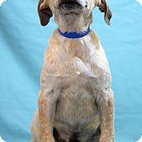 Adopt A Pet :: Lester - Waldorf, MD