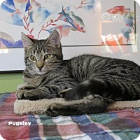 Adopt A Pet :: 'Pugsley and Ophelia' Twin Tabby Kittens - HILLSBORO, OR