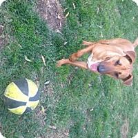 Adopt A Pet :: Calvin - Houston, TX