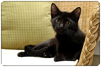Domestic Shorthair Kitten for adoption in Sterling Heights, Michigan - Tobin - ADOPTED!