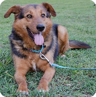 Shepherd (Unknown Type) Mix Dog for adoption in Midlothian, Virginia - Tommy