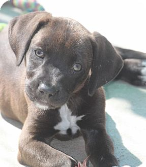 Labrador Retriever Mix Puppy for adoption in Jewett City, Connecticut - Patty Tolan