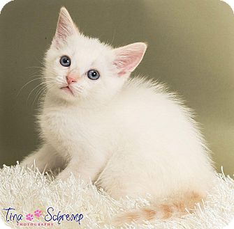 American Shorthair Kitten for adoption in Big Canoe, Georgia - Sugar Bear