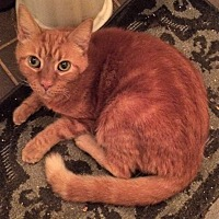 Domestic Shorthair Cat for adoption in Chattanooga, Tennessee - Big Red (Declawed)
