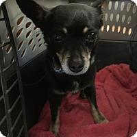 Adopt A Pet :: Chiquita - Houston, TX