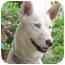 Photo 1 - Husky/Siberian Husky Mix Dog for adoption in Ashland, Oregon - Sophie