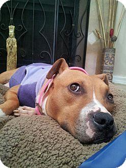 Boxer/Pit Bull Terrier Mix Dog for adoption in Orlando, Florida - Jane