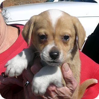 Beagle/Spaniel (Unknown Type) Mix Puppy for adoption in Greencastle, North Carolina - Twerp