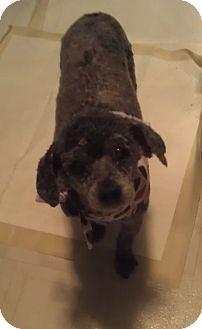 Poodle (Miniature) Dog for adoption in Romeoville, Illinois - Cheri *ADOPTION PENDING*