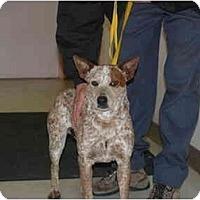Adopt A Pet :: CJ - Phoenix, AZ