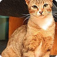 Adopt A Pet :: Acadia - Lombard, IL