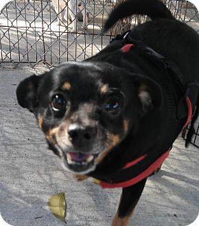 Miniature Pinscher/Chihuahua Mix Dog for adoption in Boca Raton, Florida - Doogie