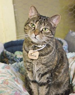 Domestic Shorthair Cat for adoption in Montreal, Quebec - Julia