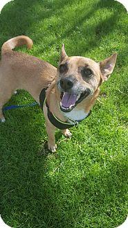 Chihuahua/Corgi Mix Dog for adoption in Phoenix, Arizona - Chico