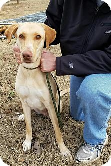 Labrador Retriever Mix Dog for adoption in Sagaponack, New York - Harmony