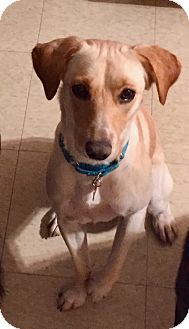 Labrador Retriever Mix Dog for adoption in Bedford Hills, New York - Mabel