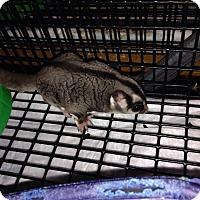Sugar Glider for adoption in Phoenix, Arizona - Calvin (bonded to Hobbes)