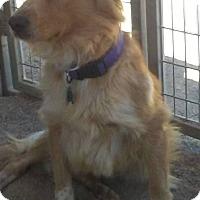 Adopt A Pet :: Callie - Las Vegas, NV