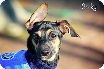 Dachshund Mix Dog for adoption in Albany, New York - Corky