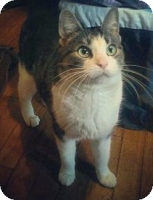 Domestic Shorthair Cat for adoption in North Olmsted, Ohio - Vixen-Courtesy Post