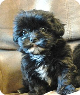 Shih Tzu/Yorkie, Yorkshire Terrier Mix Puppy for adoption in Somers, Connecticut - Kinley - ADOPTION PENDING