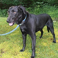 Labrador Retriever Mix Dog for adoption in Franklin, Tennessee - ROCKY