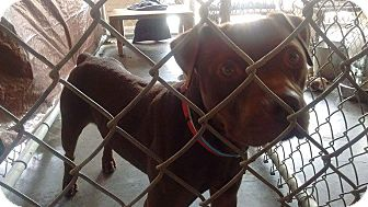 Pit Bull Terrier Mix Dog for adoption in Livingston Parish, Louisiana - Brady