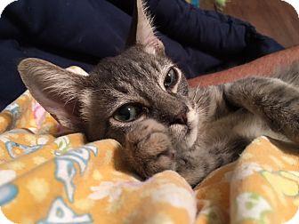 Domestic Shorthair Kitten for adoption in Houston, Texas - Mick