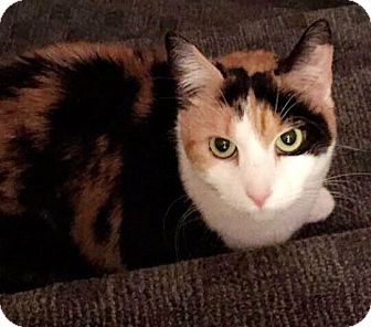 Calico Cat for adoption in Harrison, New York - Callie