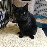 Adopt A Pet :: Indigo - Alpharetta, GA