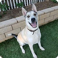 Adopt A Pet :: Capone - Saugus, CA