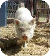 Pig (Potbellied) for adoption in Las Vegas, Nevada - Moe
